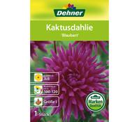 Dehner Blumenzwiebel Kaktusdahlie 'Blaubart'