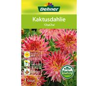 Dehner Blumenzwiebel Kaktusdahlie 'ChaCha'