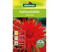 Dehner Blumenzwiebel Kaktusdahlie 'Doris Day'