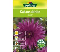 Dehner Blumenzwiebel Kaktusdahlie 'Heidi'