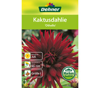 Dehner Blumenzwiebel Kaktusdahlie 'Othello'