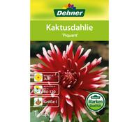 Dehner Blumenzwiebel Kaktusdahlie 'Piquant'