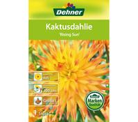 Dehner Blumenzwiebel Kaktusdahlie 'Rising Sun'