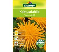 Dehner Blumenzwiebel Kaktusdahlie 'Sonnenstrahl'