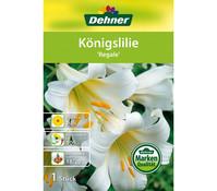 Dehner Blumenzwiebel Königslilie 'Regale'