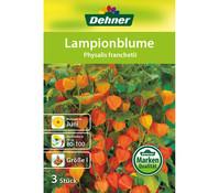 Dehner Blumenzwiebel Lampionblume 'Physalis franchetii'
