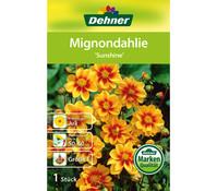Dehner Blumenzwiebel Mignondahlie 'Sunshine'