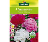 Dehner Blumenzwiebel Pfingstrosen 'Paeonia-Mischung'