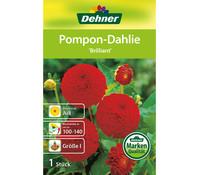 Dehner Blumenzwiebel Pompon-Dahlie 'Brillant'