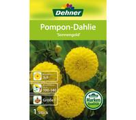 Dehner Blumenzwiebel Pompon Dahlie 'Sonnengold'