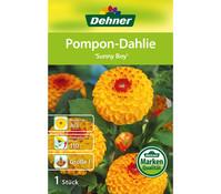 Dehner Blumenzwiebel Pompon Dahlie 'Sunny Boy'