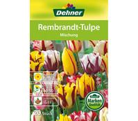 Dehner Blumenzwiebel Rembrandt-Tulpe 'Mischung'
