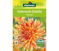 Dehner Blumenzwiebel Schmuck-Dahlie 'Arlequin'