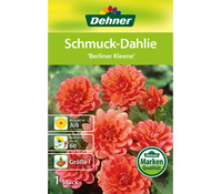 Dehner Blumenzwiebel Schmuck-Dahlie 'Berliner Kleene'