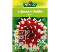 Dehner Blumenzwiebel Schmuck-Dahlie 'Duet'