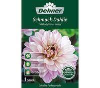 Dehner Blumenzwiebel Schmuck-Dahlie 'Melody Harmony'
