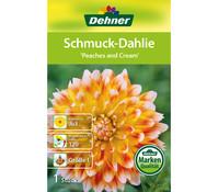 Dehner Blumenzwiebel Schmuck-Dahlie 'Peaches and Cream'