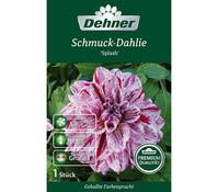 Dehner Blumenzwiebel Schmuck-Dahlie 'Splash'