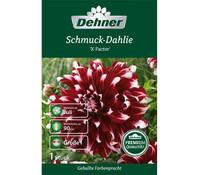 Dehner Blumenzwiebel Schmuck-Dahlie 'X-Factor'