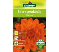 Dehner Blumenzwiebel Seerosendahlie 'Clarence'
