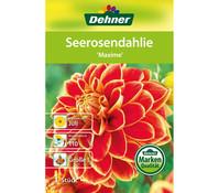 Dehner Blumenzwiebel Seerosendahlie 'Maxime'