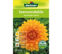 Dehner Blumenzwiebel Seerosendahlie 'Noordwijks Glorie'