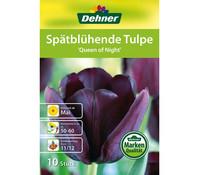 Dehner Blumenzwiebel Spätblühende Tulpe 'Queen of Night'