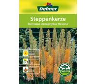 Dehner Blumenzwiebel Steppenkerze 'Eremurus stenophyllus Rexona'