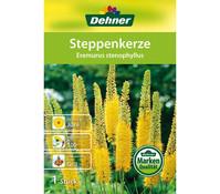 Dehner Blumenzwiebel Steppenkerze 'Eremurus stenophyllus'