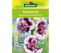 Dehner Blumenzwiebel Stockrose 'Alcea rosea Creme de Cassis'