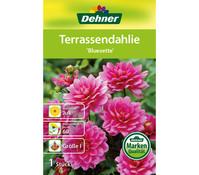 Dehner Blumenzwiebel Terassendahlie 'Bluesette'