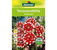 Dehner Blumenzwiebel Terrassendahlie 'Siedlerstolz'