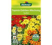 Dehner Blumenzwiebel Topmix Dahlie 'Sunfire'