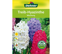 Dehner Blumenzwiebel Treib-Hyazinthe 'Mischung'