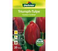 Dehner Blumenzwiebel Triumph-Tulpe 'Couleur Cardinal'