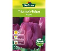 Dehner Blumenzwiebel Triumph-Tulpe 'Negrita'