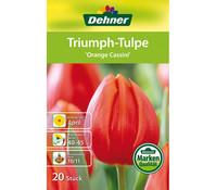 Dehner Blumenzwiebel Triumph-Tulpe 'Orange Cassini'
