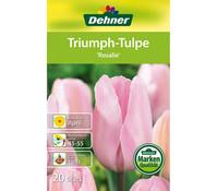 Dehner Blumenzwiebel Tulpe 'Rosalie'