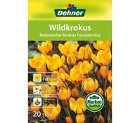 Dehner Blumenzwiebel Wildkrokus 'Botanischer Krokus Fuscotinctus'