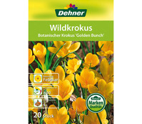 Dehner Blumenzwiebel Wildkrokus 'Botanischer Krokus Golden Bunch'