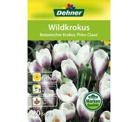 Dehner Blumenzwiebel Wildkrokus 'Botanischer Krokus Prins Claus'