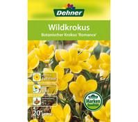 Dehner Blumenzwiebel Wildkrokus 'Botanischer Krokus Romance'