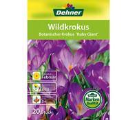 Dehner Blumenzwiebel Wildkrokus 'Botanischer Krokus Ruby Giant'