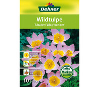 Dehner Blumenzwiebel Wildtulpe 'T. bakeri Lilac Wonder'