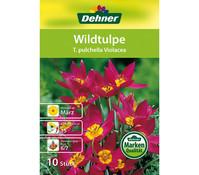 Dehner Blumenzwiebel Wildtulpe 'T. pulchella Violacea'