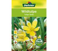 Dehner Blumenzwiebel Wildtulpe 'Tulipa tarda'
