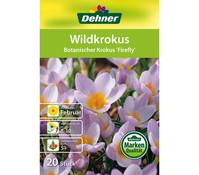 Dehner Blumenzwiebel Wilkrokus 'Botanischer Krokus Firefly'