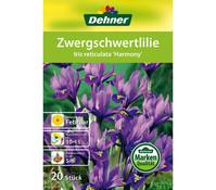 Dehner Blumenzwiebel Zwergschwertlilie 'Iris reticulata Harmony'