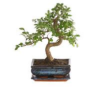 Dehner Bonsai Japanische Zelkove