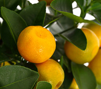 Dehner Calamondin-Orange